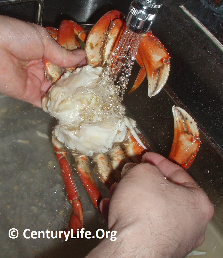 Dungeness crab being cleaned.